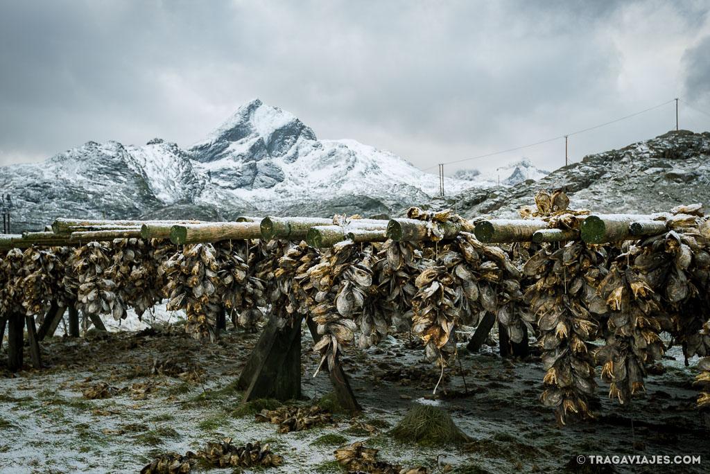 Bacalao secando en Lofoten