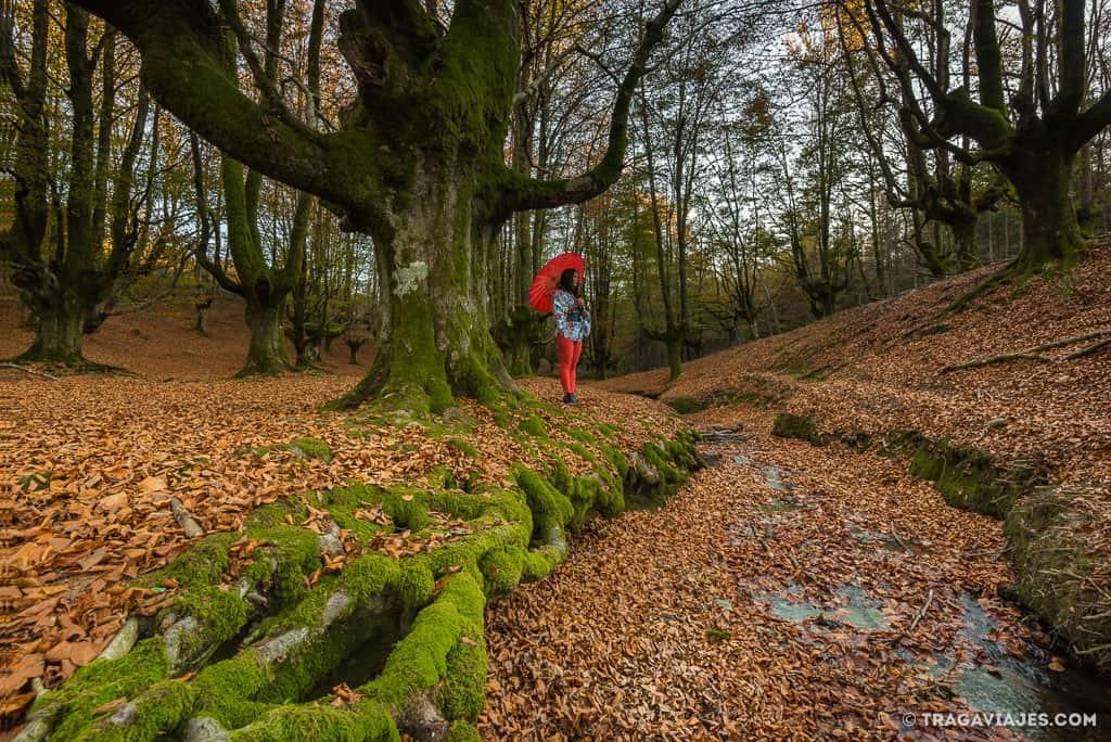 hayedo de otzarreta bosque gorbeia pais vasco